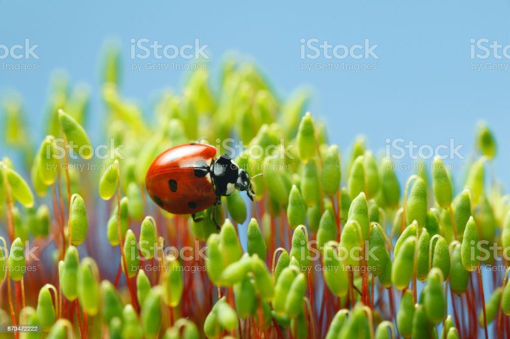 Ladybird among Pohlia moss capsules stock photo
