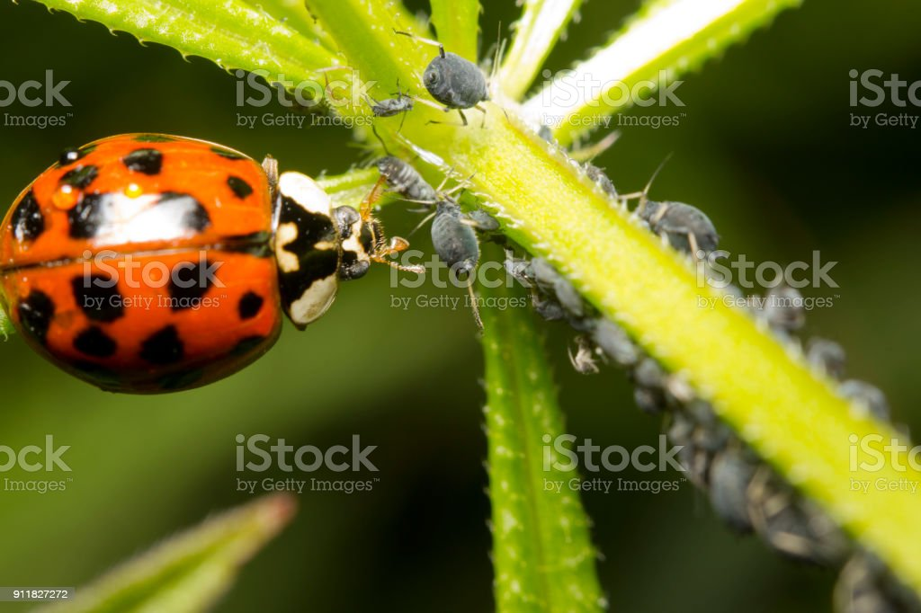 Ladybird and aphids stock photo