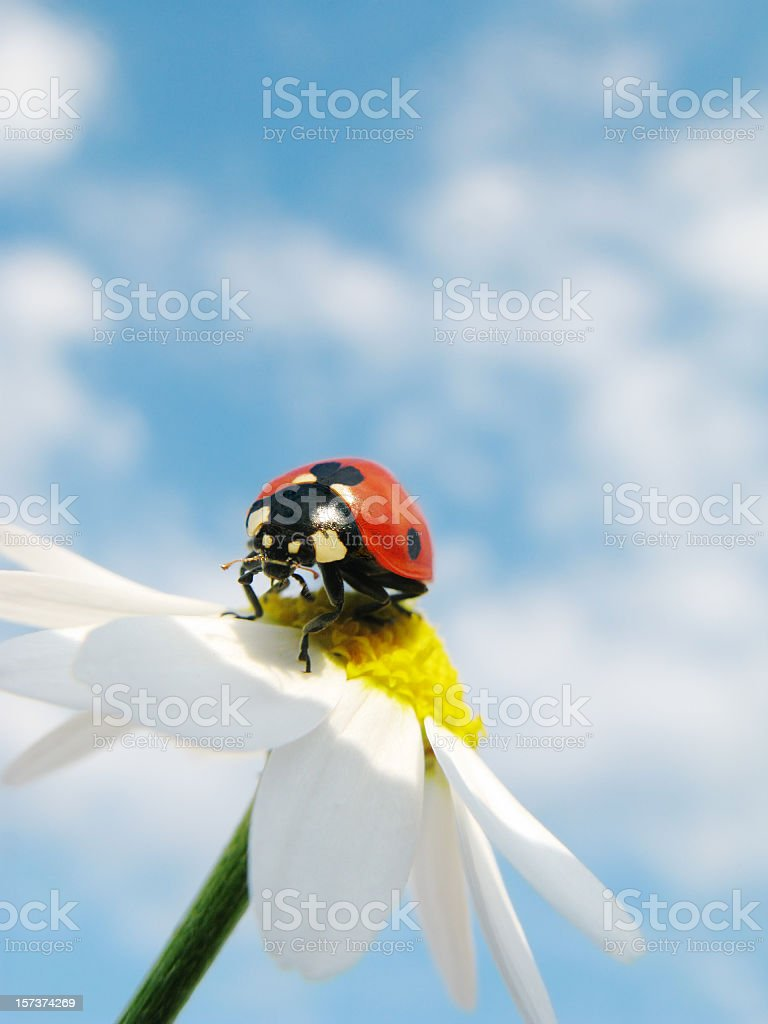Ladybird and daisy with cloudy sky. royalty-free stock photo