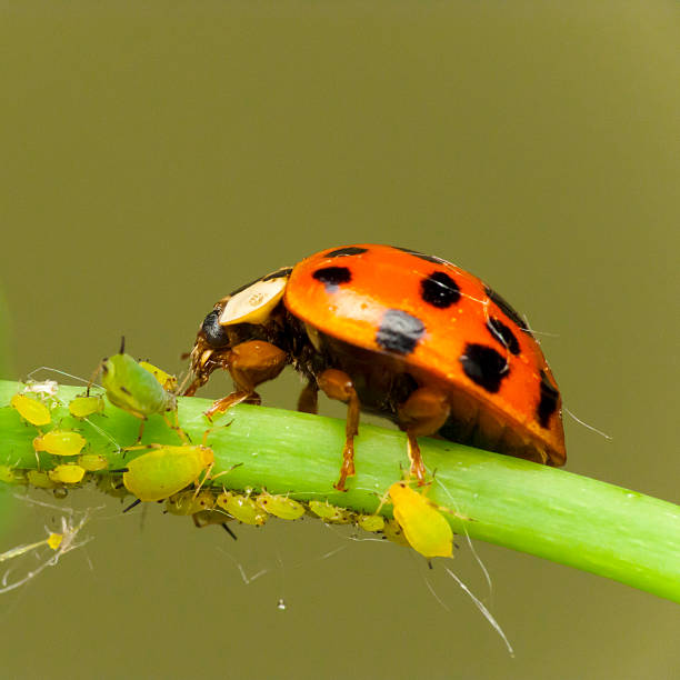 Ladybird attack aphids Ladybird attacking Aphids on the endangered plant aphid stock pictures, royalty-free photos & images