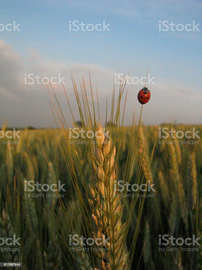 Ladybird & Barley stock photo