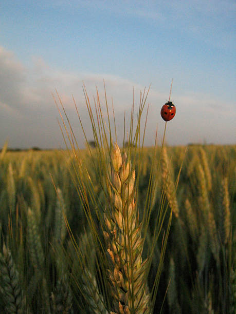 Ladybird & Barley stock photo