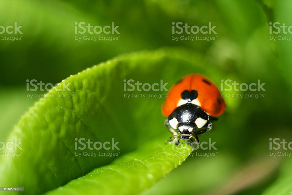 ladybird, beetle, close-up photo on a green leaf stock photo