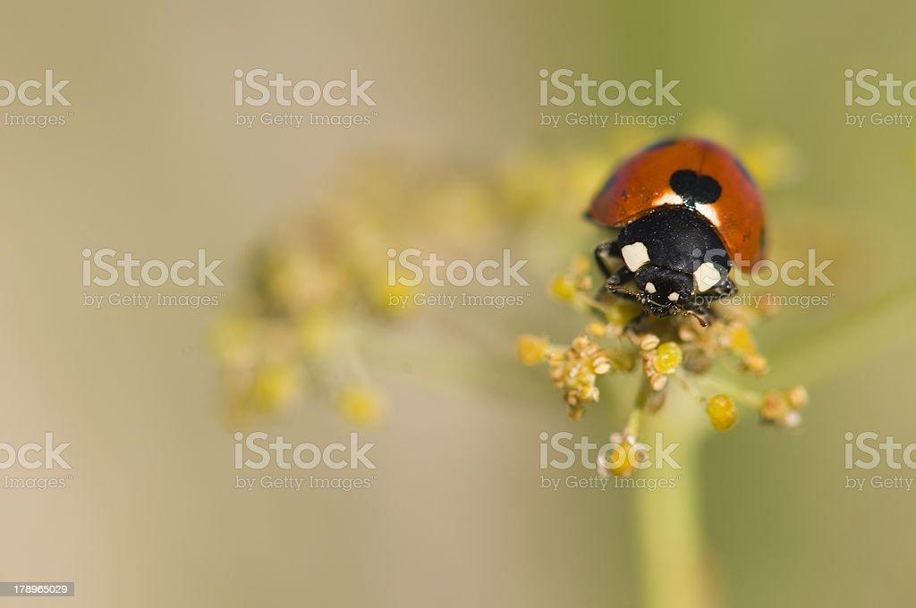 ladybird beetle stock photo