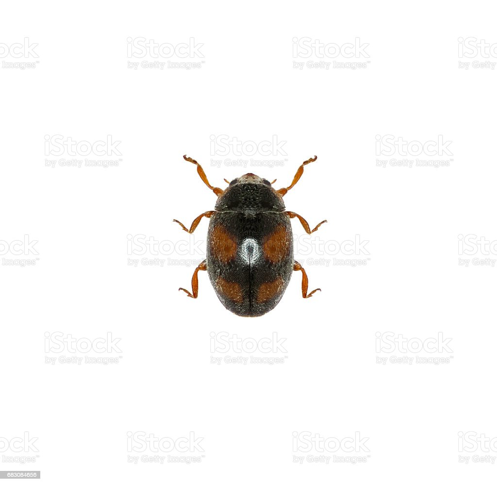 Ladybird Beetle Scymnus on white Background  -  Scymnus frontalis (Fabricius, 1787) stock photo