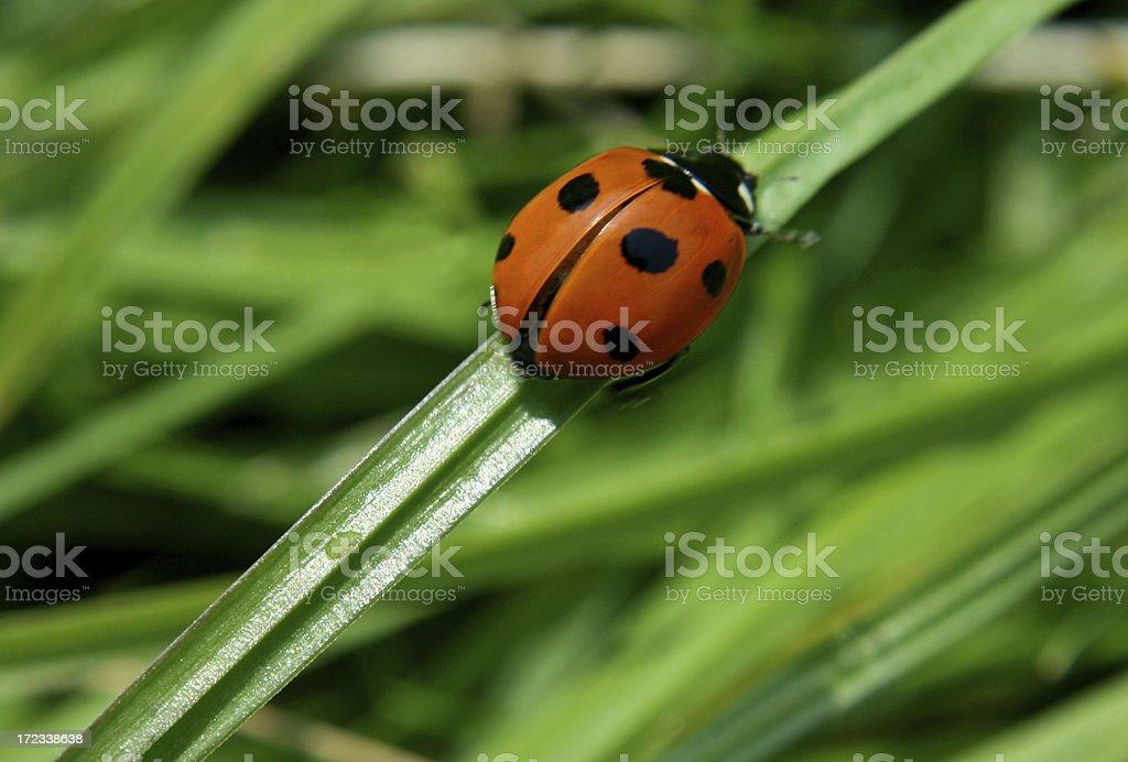 Ladybird climbing grass royalty-free stock photo