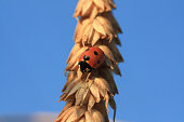 ladybird creep on spikelet of wheat, Russia