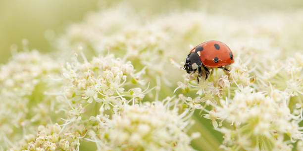 ladybird gathers nectar from a white fluffy flower little funny ladybird eating pollen or nectar on a white bushy flower blooming in a summer field or on a meadow symbiotic relationship stock pictures, royalty-free photos & images