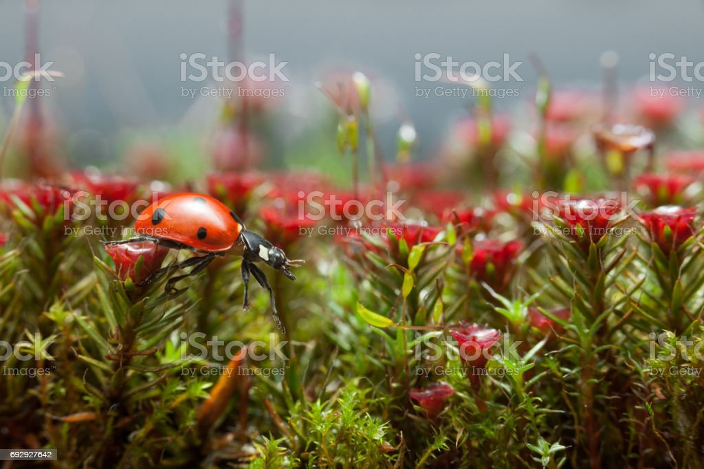 Ladybird get over blossom moss, step one stock photo