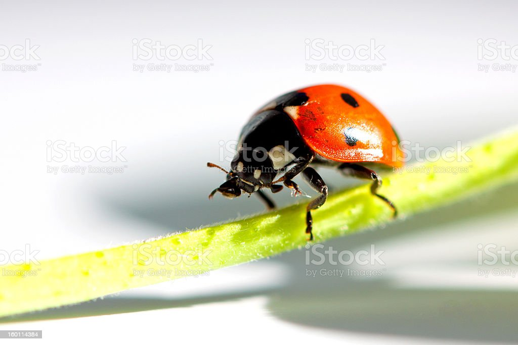 Ladybird grooming. royalty-free stock photo