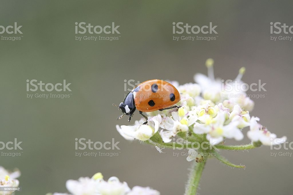 Ladybird Hunts royalty-free stock photo