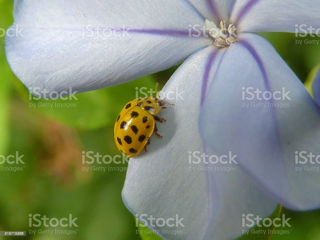 Ladybird insect stock photo