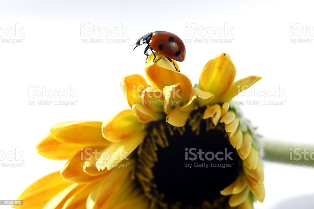 ladybird landing on a yellow flower royalty-free stock photo