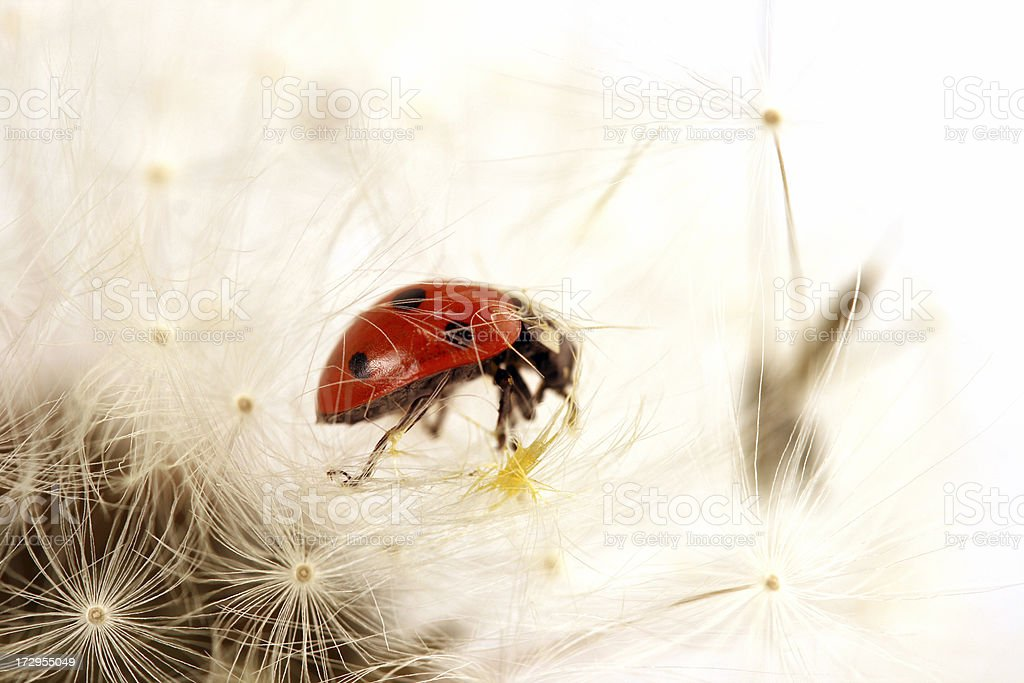Ladybird on a dandelion stock photo