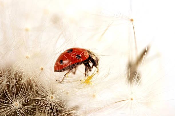 Ladybird on a dandelion stock photo