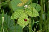 A beautiful ladybird sitting on a green leaf.