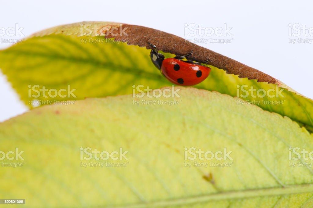 Ladybird on a leaf. stock photo