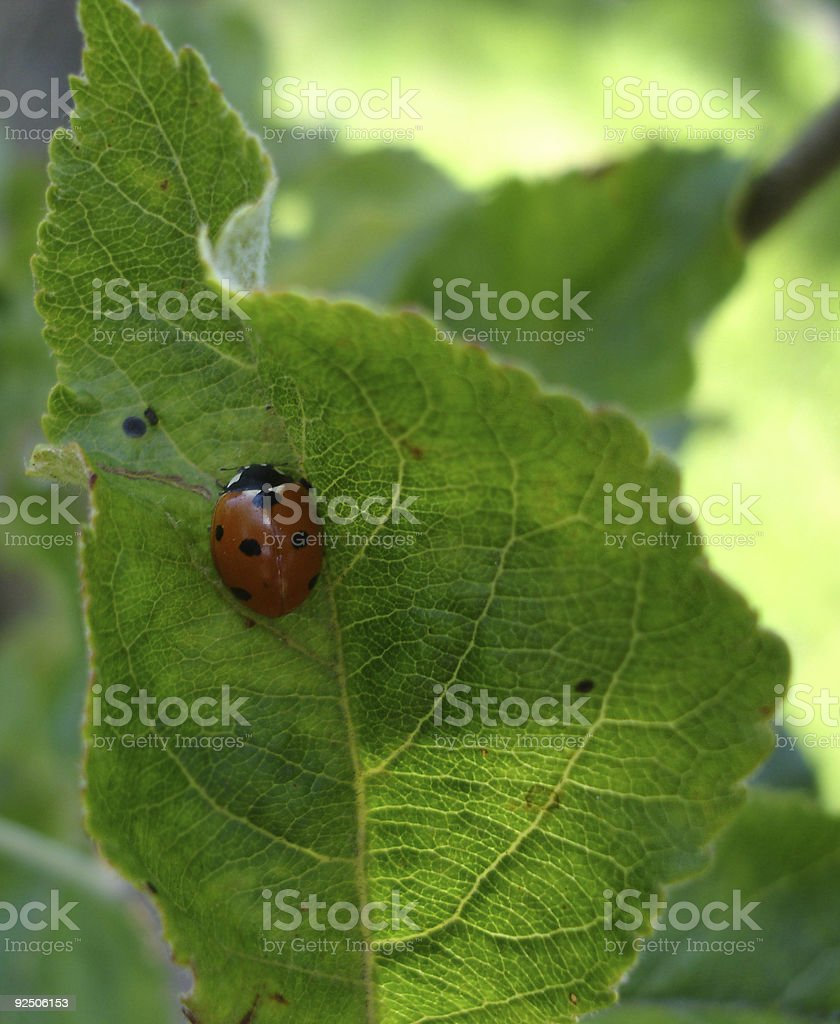 Ladybird on a leaf royalty-free stock photo
