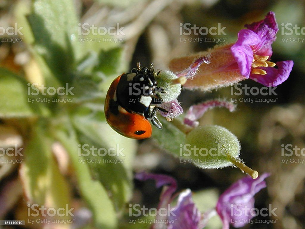 ladybird on a plant royalty-free stock photo
