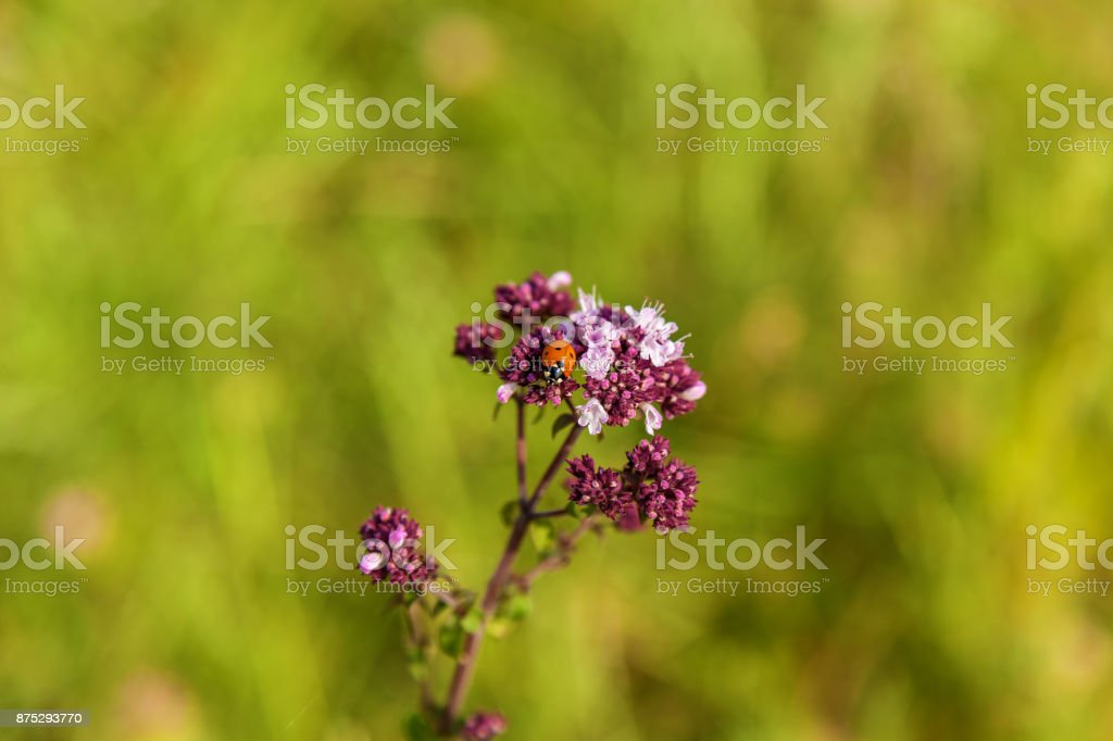 ladybird on a violet flower stock photo