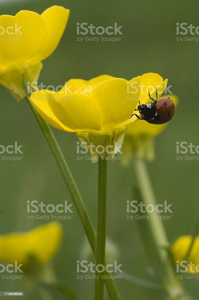 Ladybird on a yellow buttercup stock photo
