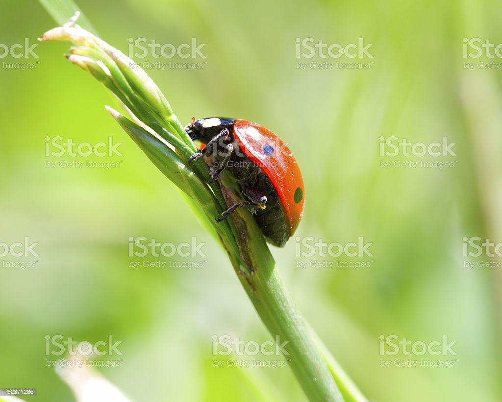 ladybird on blade royalty-free stock photo