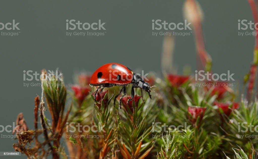 Ladybird on blossom moss on forest floor stock photo