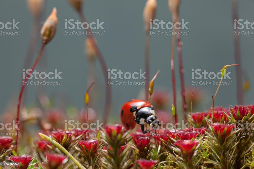 Ladybird on blossom moss stock photo