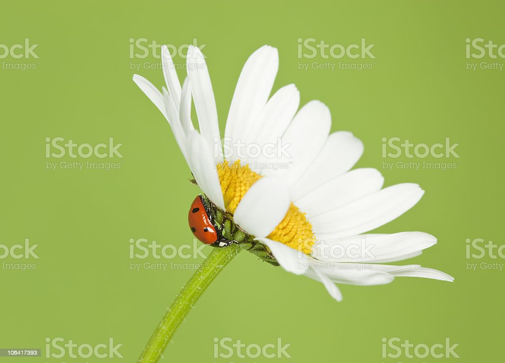 Ladybird on daisy with green background. royalty-free stock photo