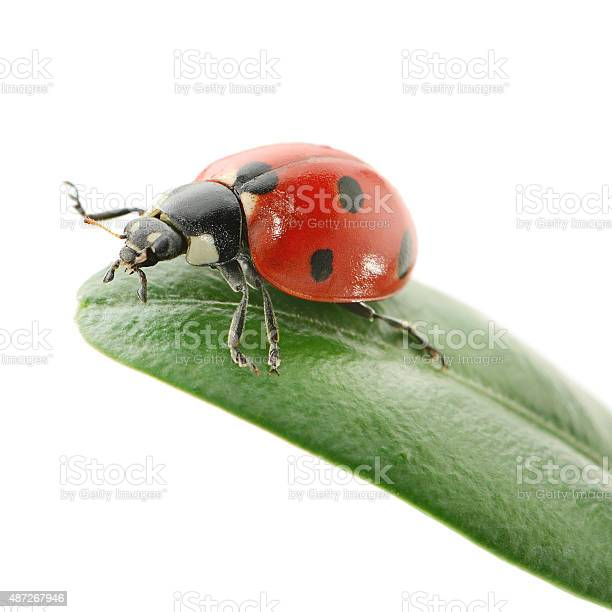 Ladybird on green leaf picture id487267946?b=1&k=6&m=487267946&s=612x612&h=hgpffinqi5l oidy27wciywzk2abnau1v7bdhlgcupm=
