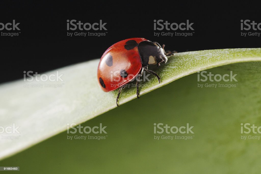 ladybird on green leaf royalty-free stock photo