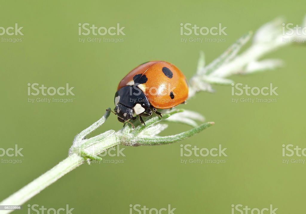 Ladybird on leaf royalty-free stock photo