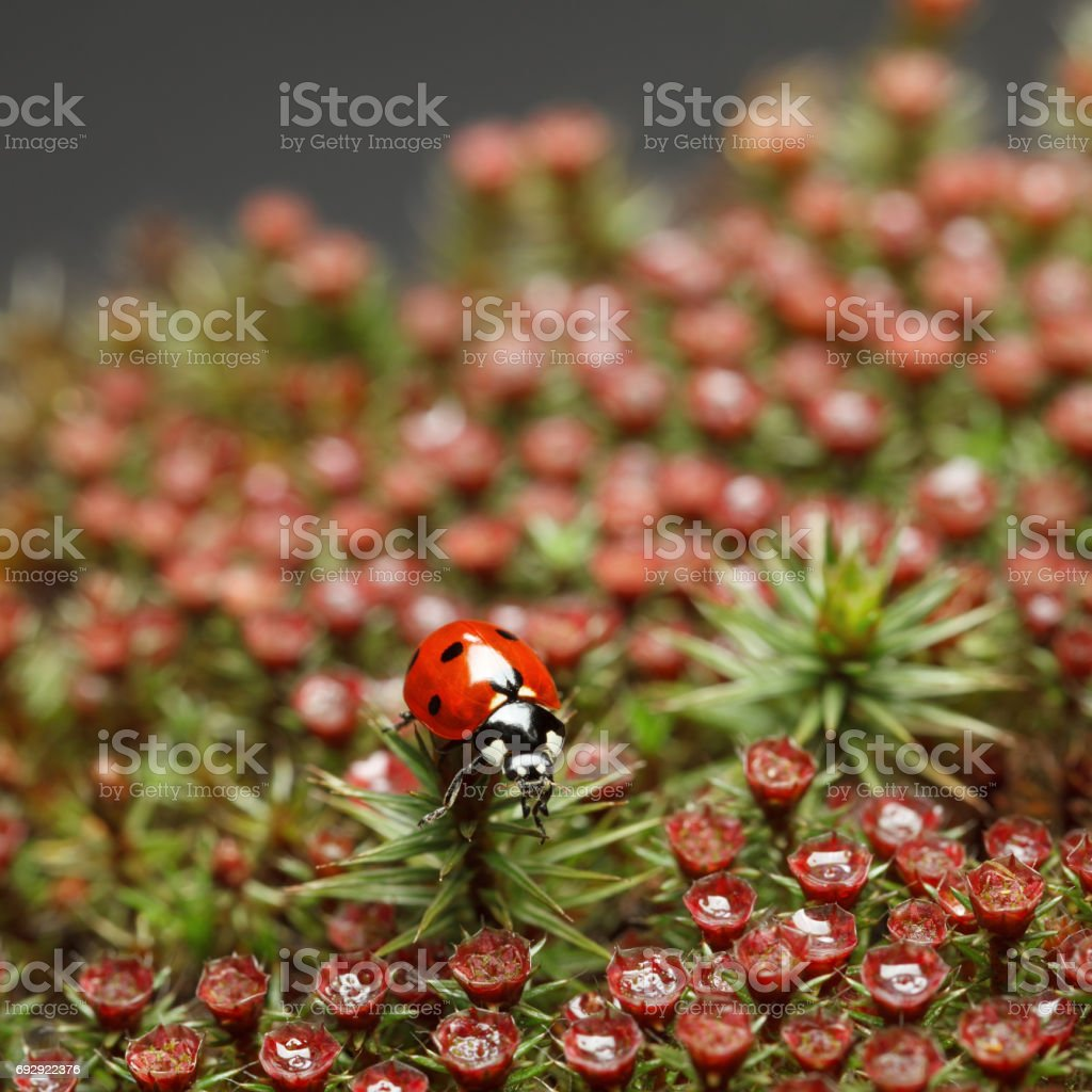 Ladybird on red blossom moss stock photo