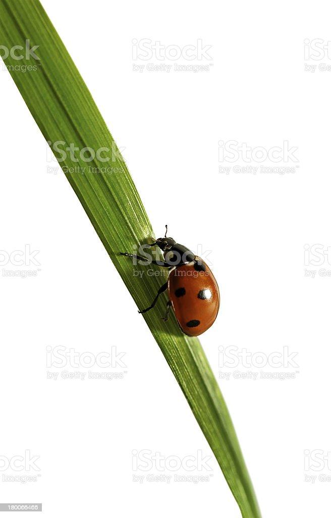 Ladybird on the grass. royalty-free stock photo