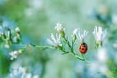 白い花のテントウムシ