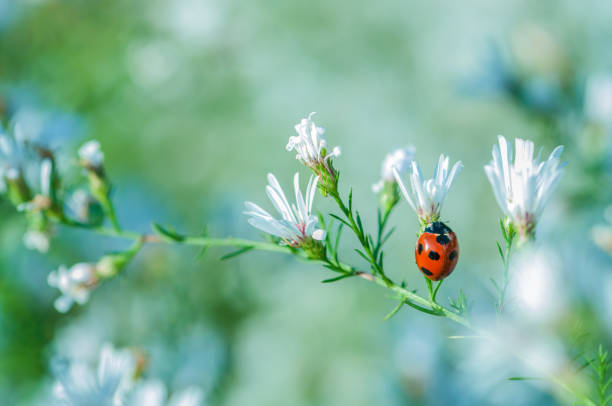 白い花のテントウムシ - 昆虫 ストックフォトと画像