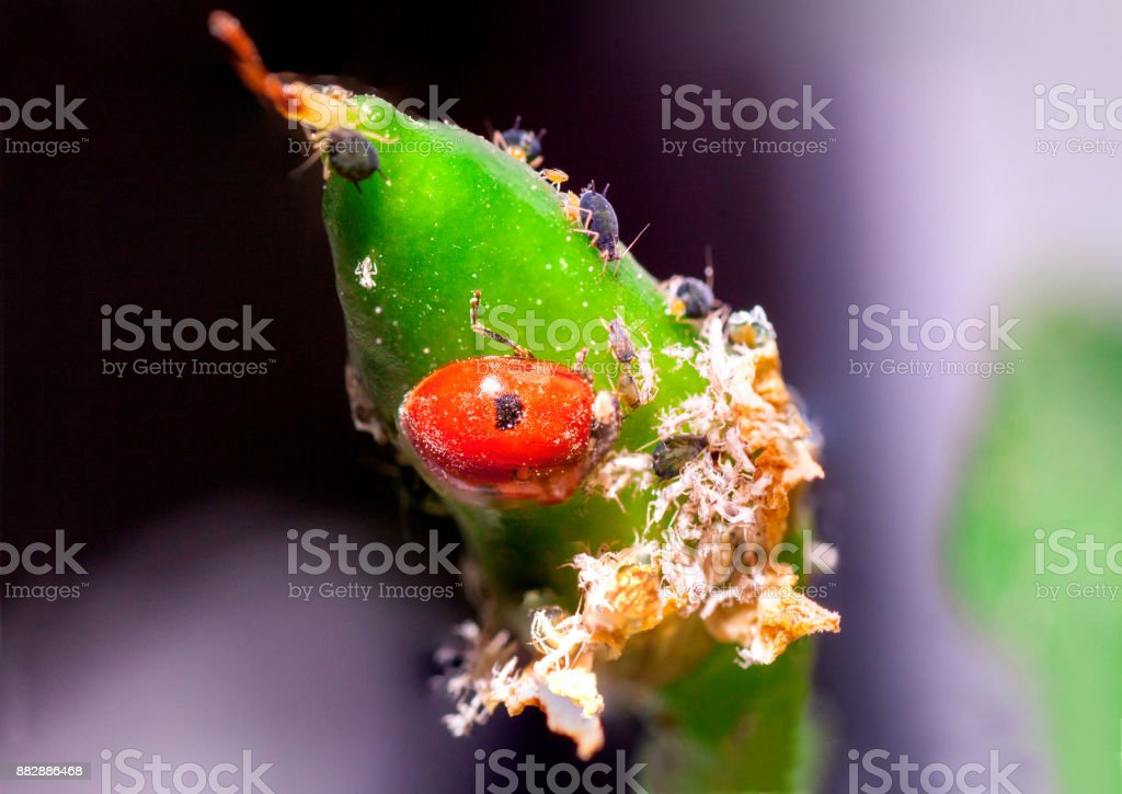 Ladybird pest killers eating aphids stock photo