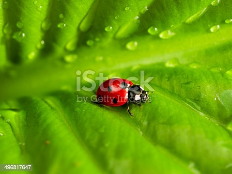 Ladybird on green leaf with water drops