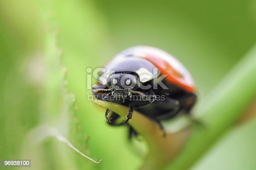 Ladybird Stock Photo & More Pictures of Animal