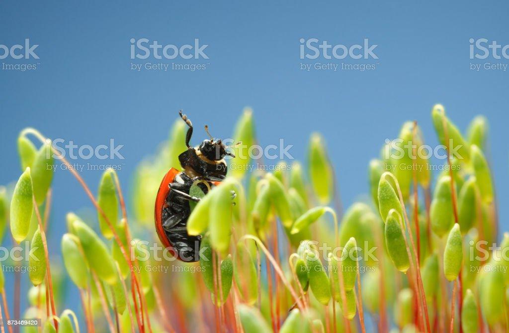 Ladybird raise to sky stock photo