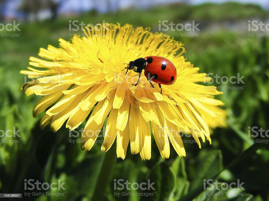 Ladybird resting on dandelion royalty-free stock photo