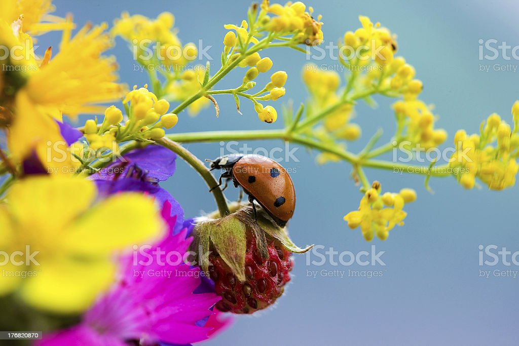Ladybird, strawberries and yellow flowers on a blue background. stock photo