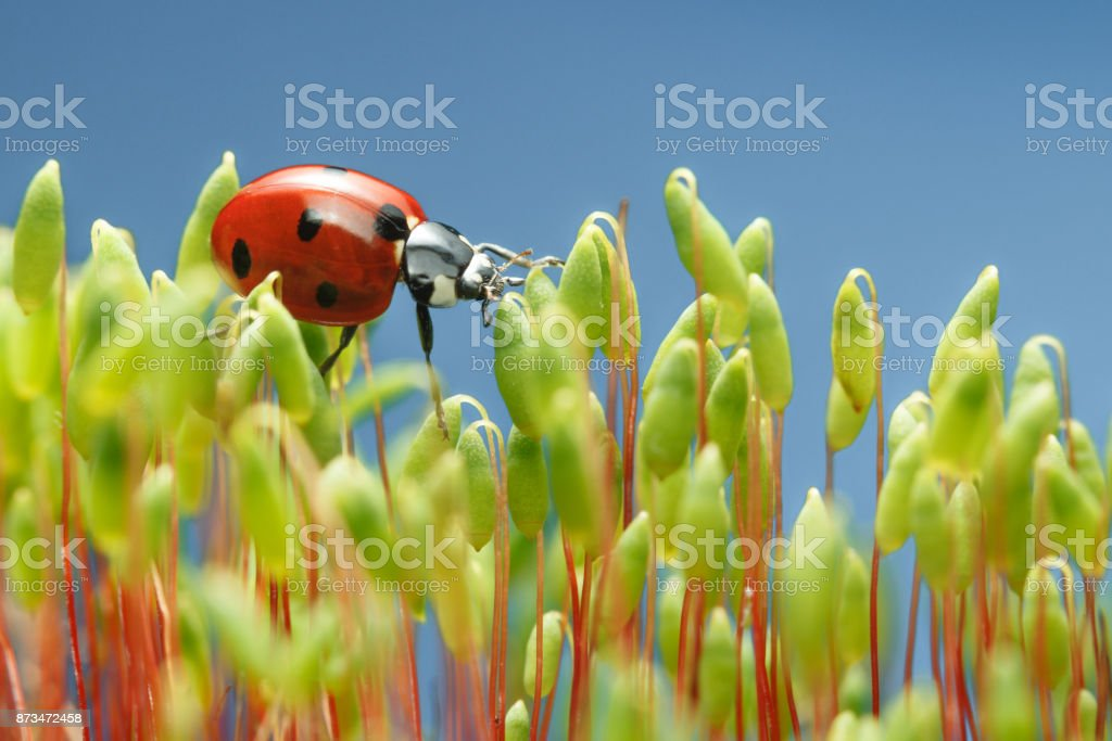 Ladybird walking on moss top stock photo