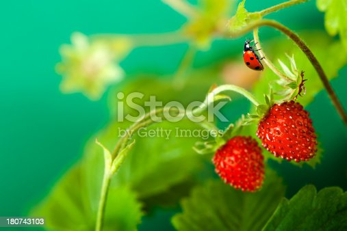 Wild Strawberry and ladybug
