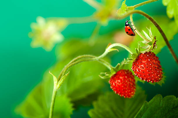 ladybird walking on stem strawberries. - wilde aardbei stockfoto's en -beelden