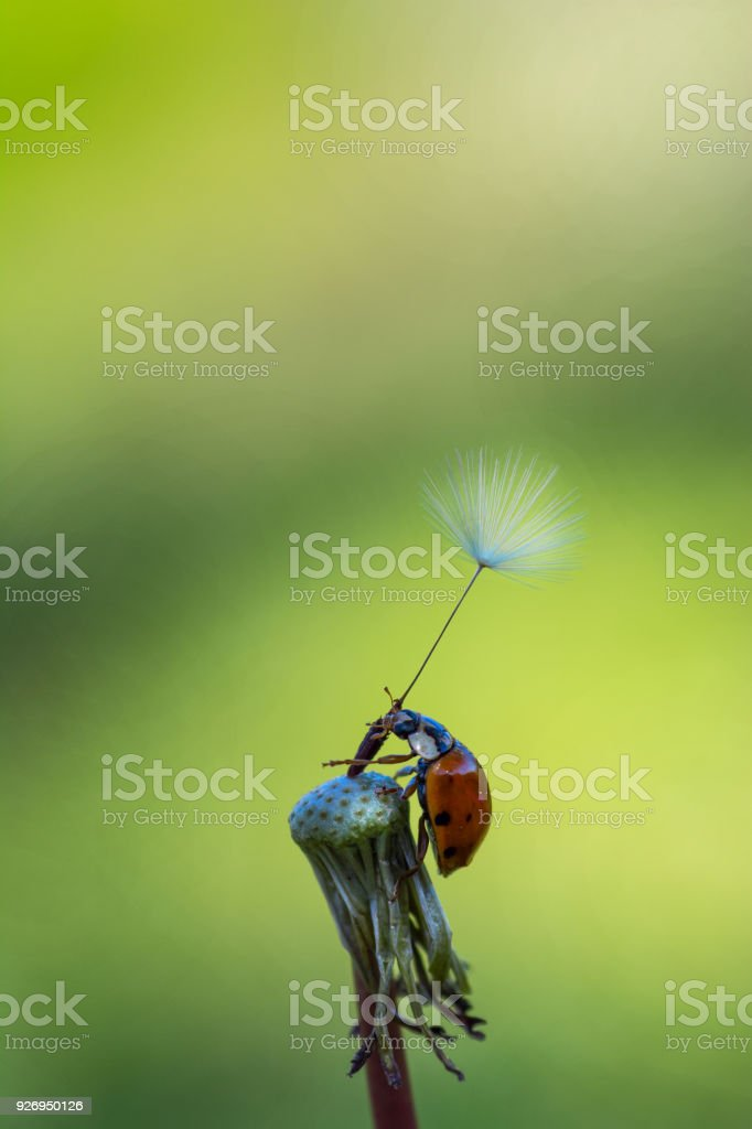 A ladybird's conquest stock photo