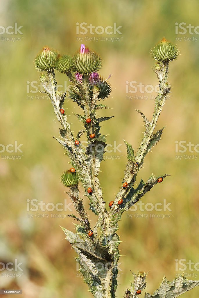 ladybirds on a kind  of thistle royalty-free stock photo
