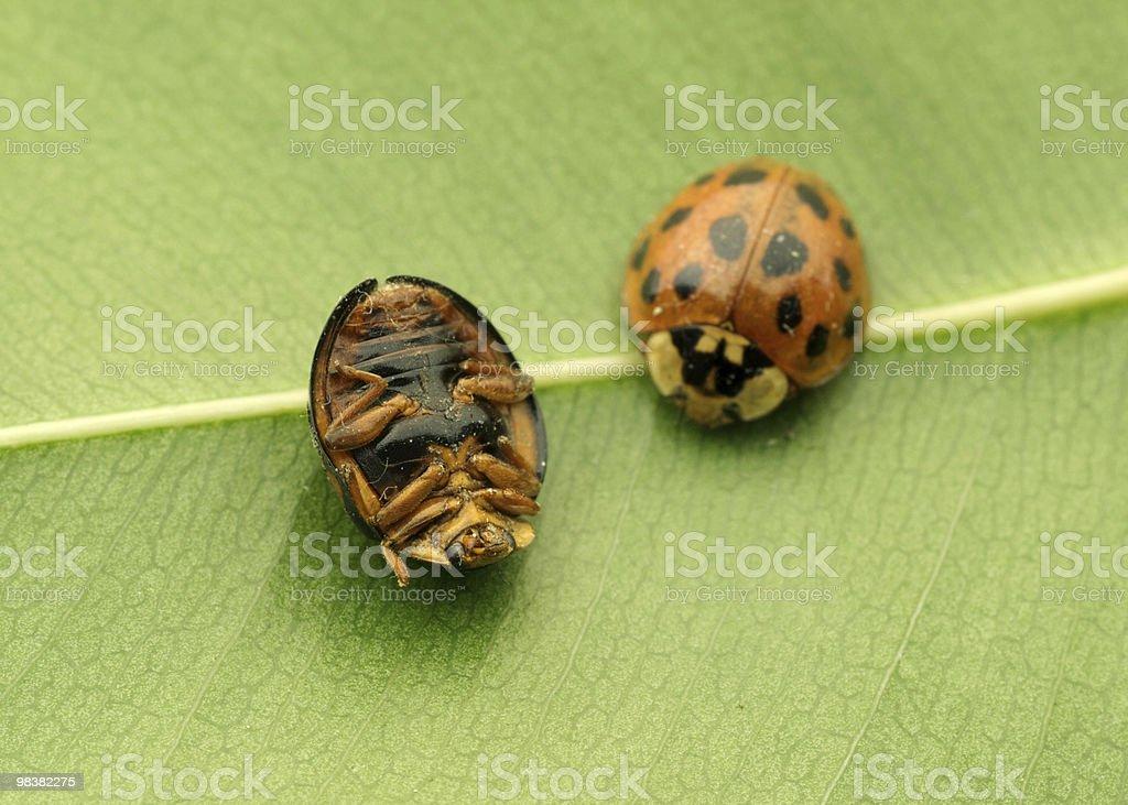 Ladybirds royalty-free 스톡 사진