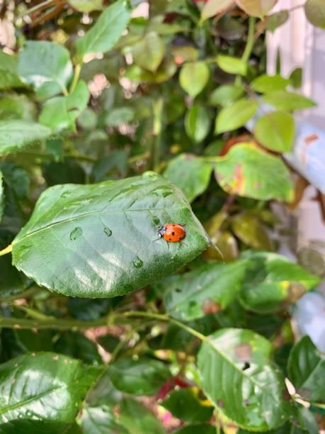 A Ladybug aka Coccinellidae on a leaf. stock photo