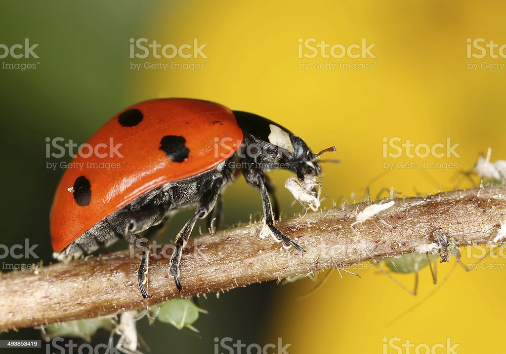 Ladybug and aphids stock photo